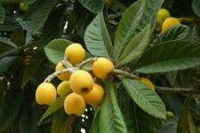 Фото: фрукт Помело