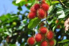 Фото: фрукт Рамбутан