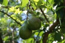 Фото: фрукт Авокадо