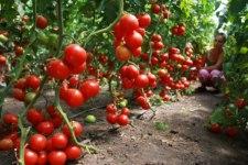 Фото: фрукт Томат