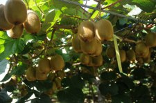 Фото: фрукт Киви