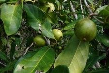Фото: плоды Мангустина