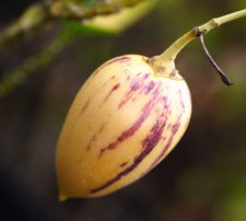 Фото: фрукт Пепино