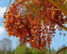 Фото: фрукт Хлеб пустыни