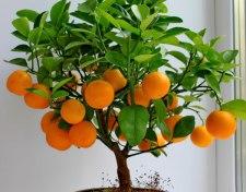 Фото: фрукт Апельсин