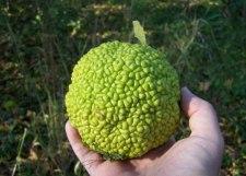 Фото: фрукт Адамово яблоко
