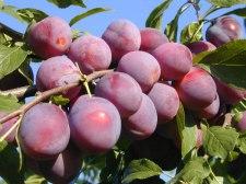 Фото: фрукт Слива