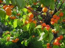 Фото: фрукт Абрикос